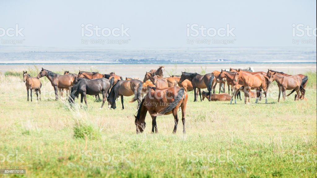 horse, knight, steed, courser, hoss. a solid-hoofed plant-eating domesticated mammal with a flowing mane and tail, used for riding, racing, and to carry and pull loads. stock photo