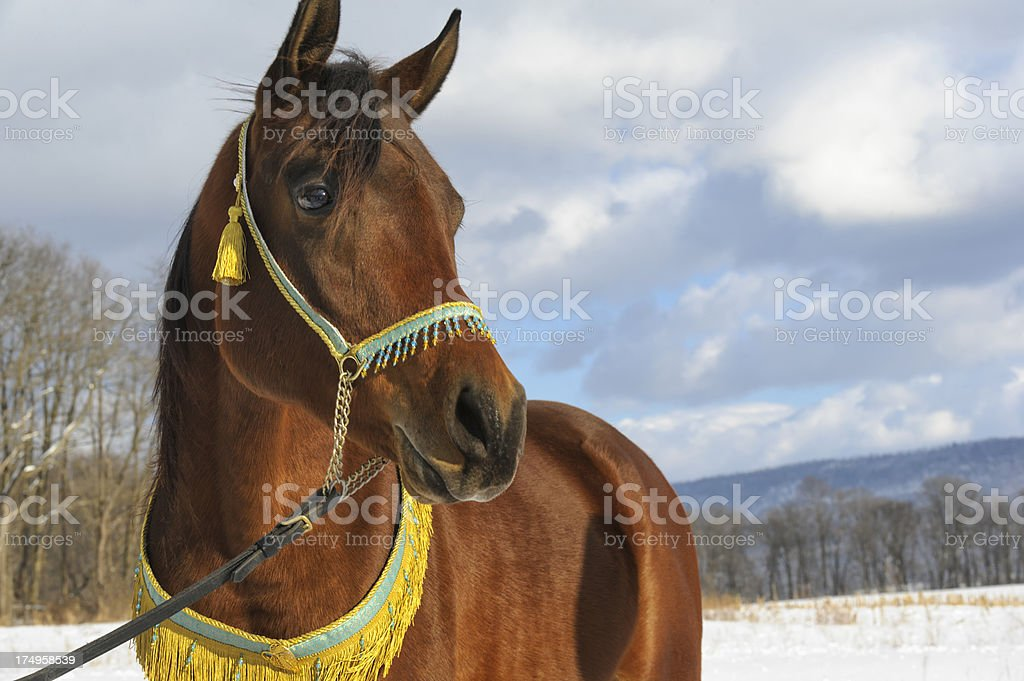 Horse Looking into Distance, Arabian Stallion in Winter royalty-free stock photo