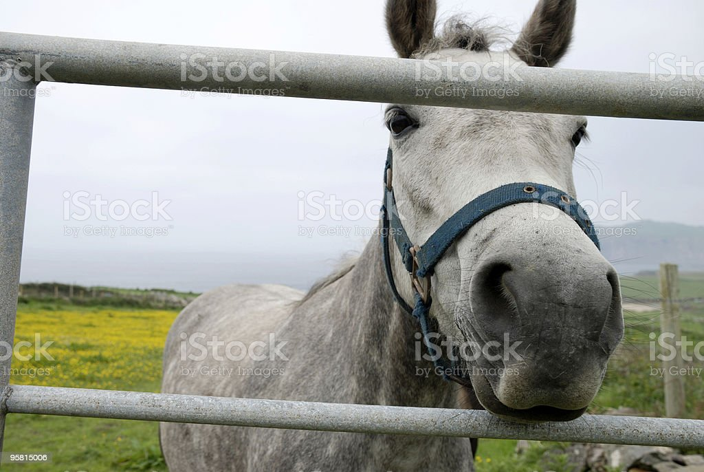 Horse Looking Through Fence royalty-free stock photo