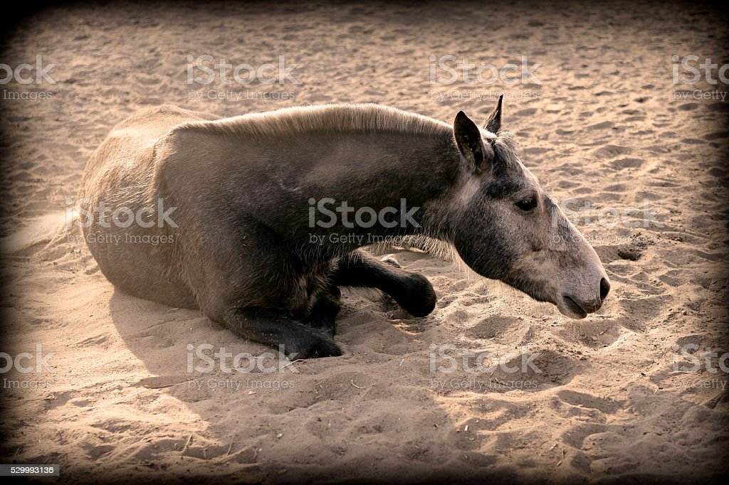 Horse lying down in the sand stock photo