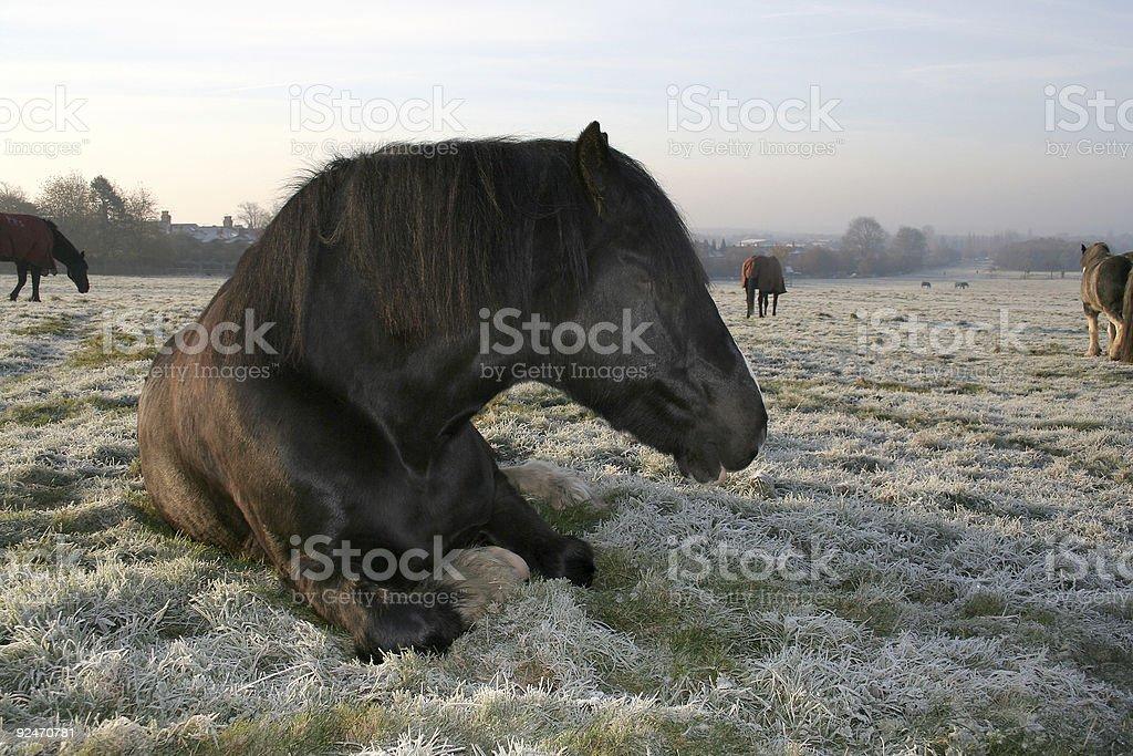 Horse lying in frosty winter field royalty-free stock photo