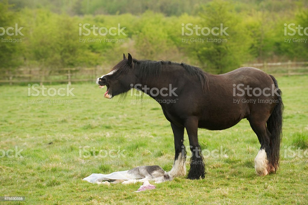Horse mourning her still born foal stock photo