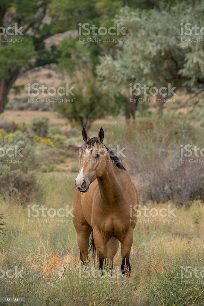 Horse, Mustang, Nevada stock photo