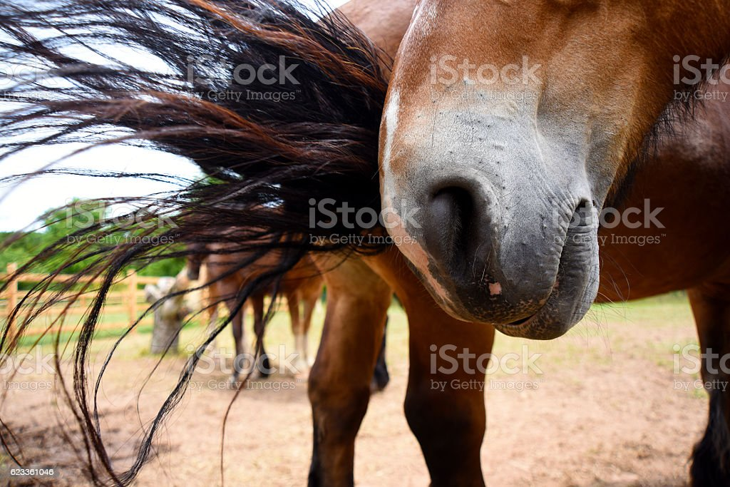 Horse Muzzle being hit by Tail stock photo
