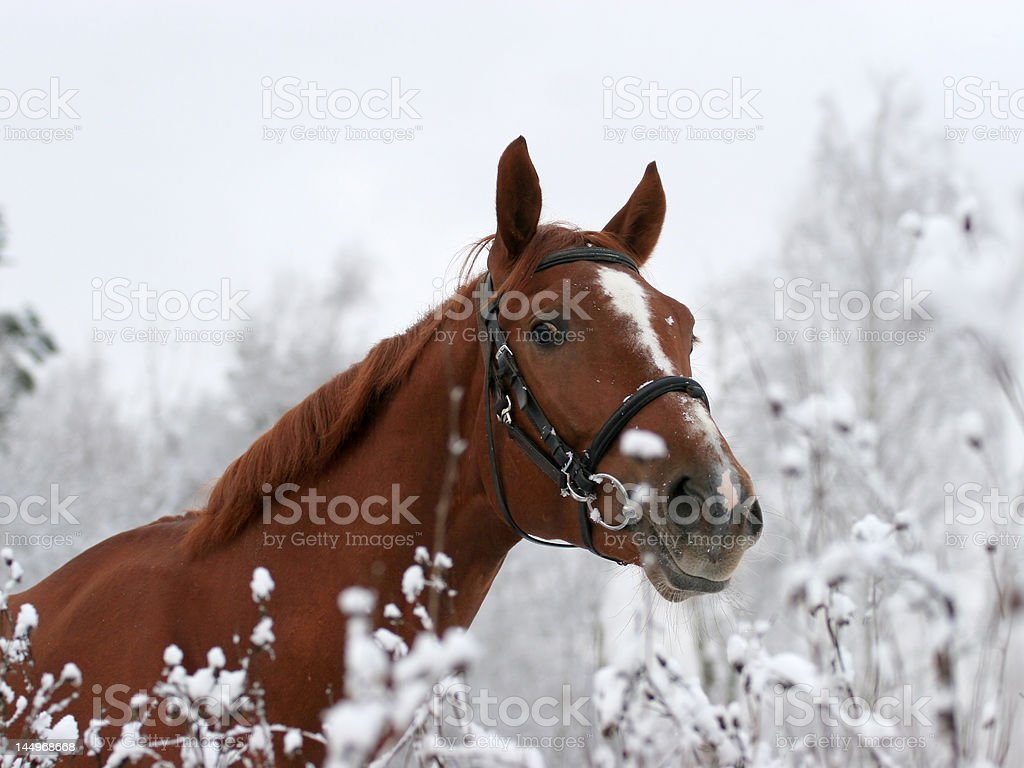 Horse named Jeday watches on me stock photo