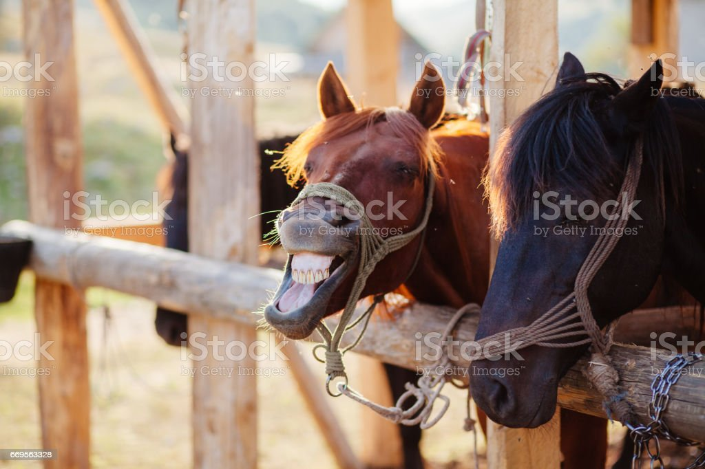 horse neighs at stall stock photo