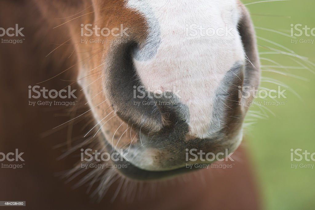 Horse Nose stock photo
