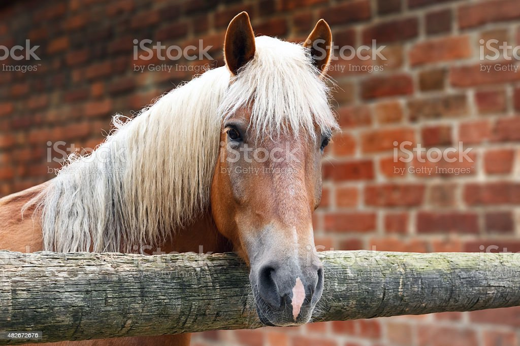 Horse of palomino color in the stall stock photo