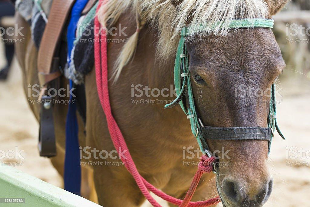 Horse on farm Chokchai royalty-free stock photo