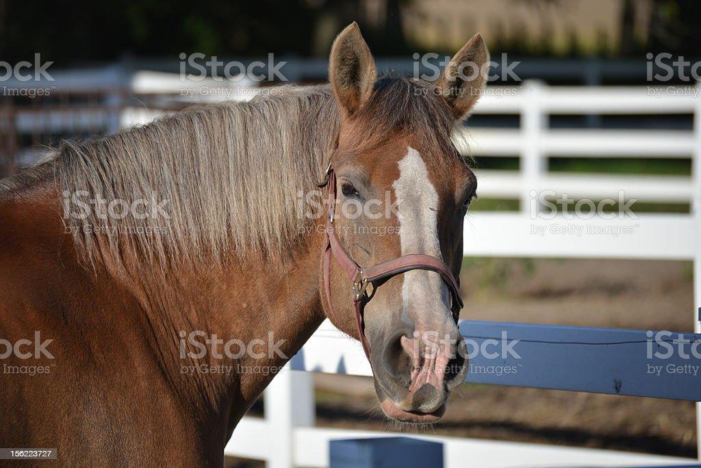 Horse on paddock royalty-free stock photo