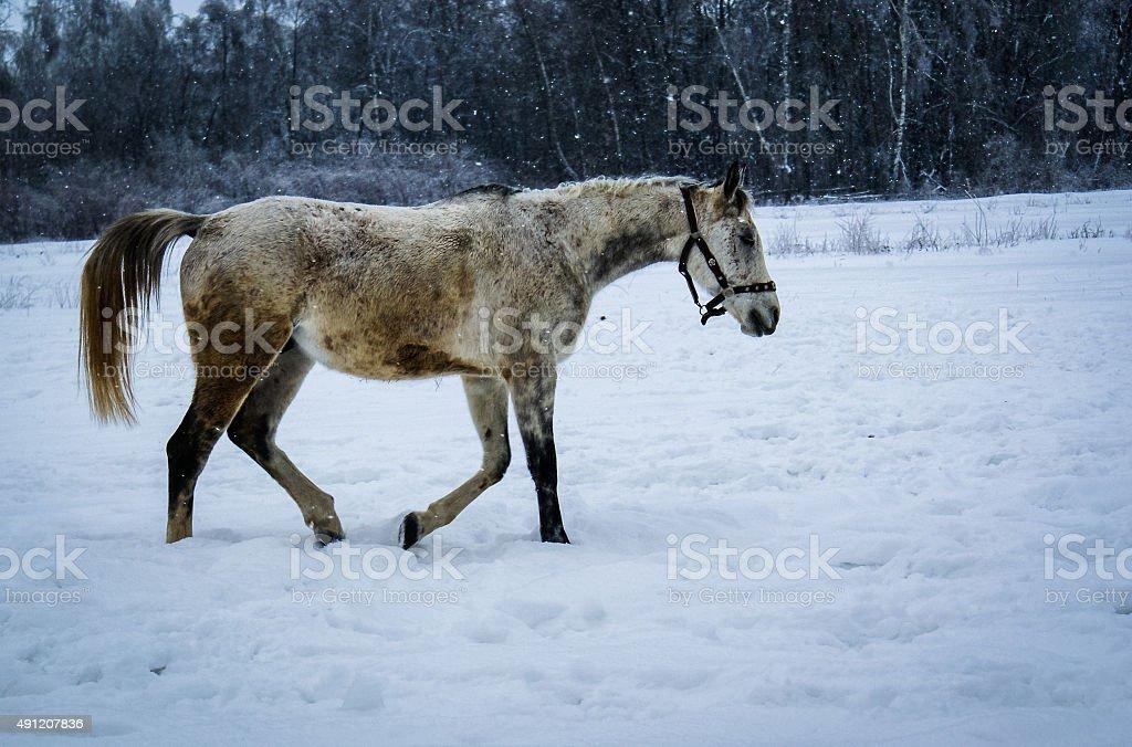 Cheval dans la neige photo libre de droits