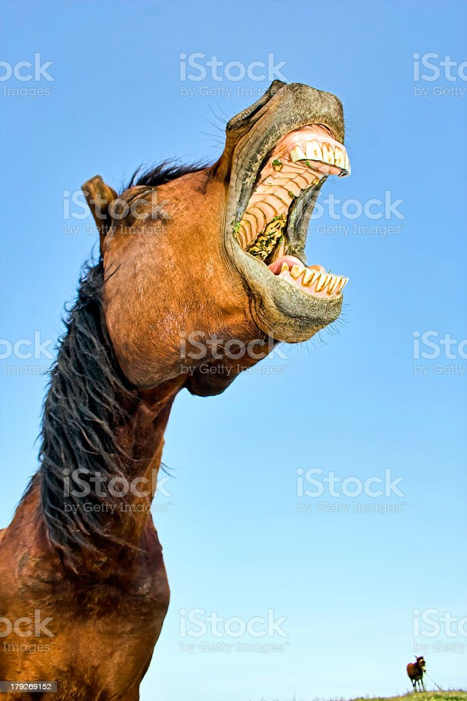 A horse opening its mouth really wide with a blue sky royalty-free stock photo