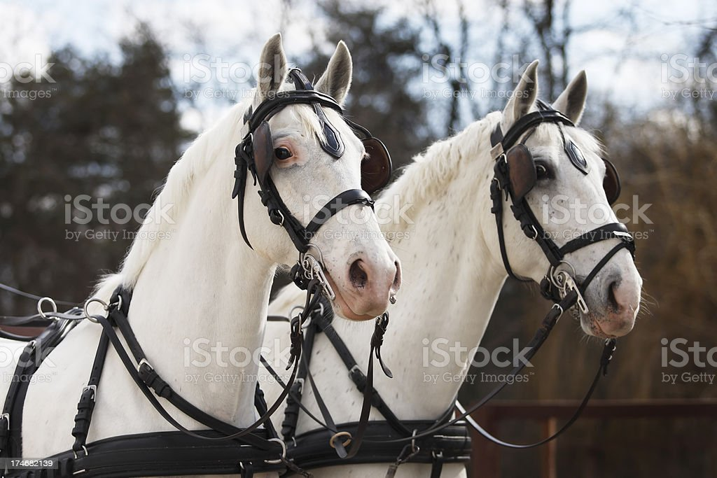 Horse pair stock photo