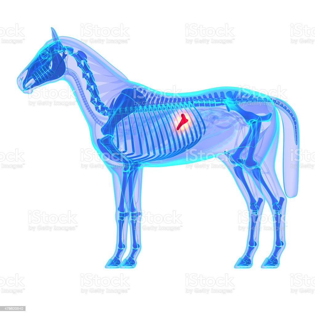 Horse Pancreas - Horse Equus Anatomy - isolated on white stock photo