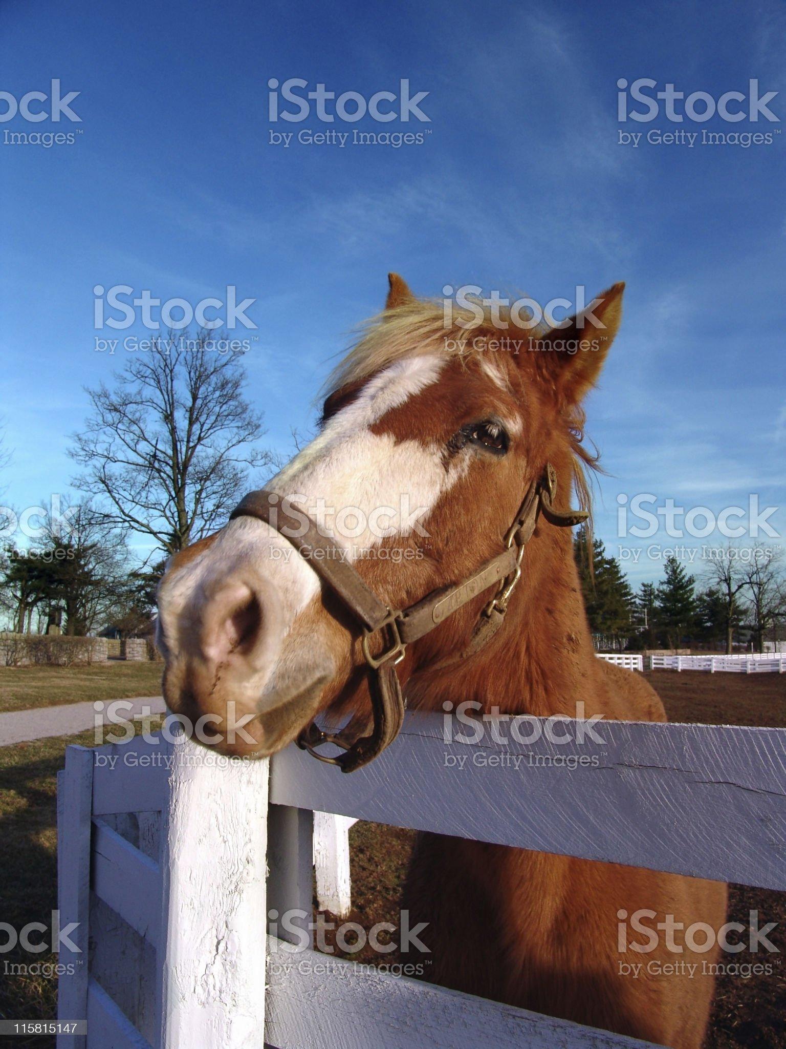 Horse Peeking over Fence royalty-free stock photo