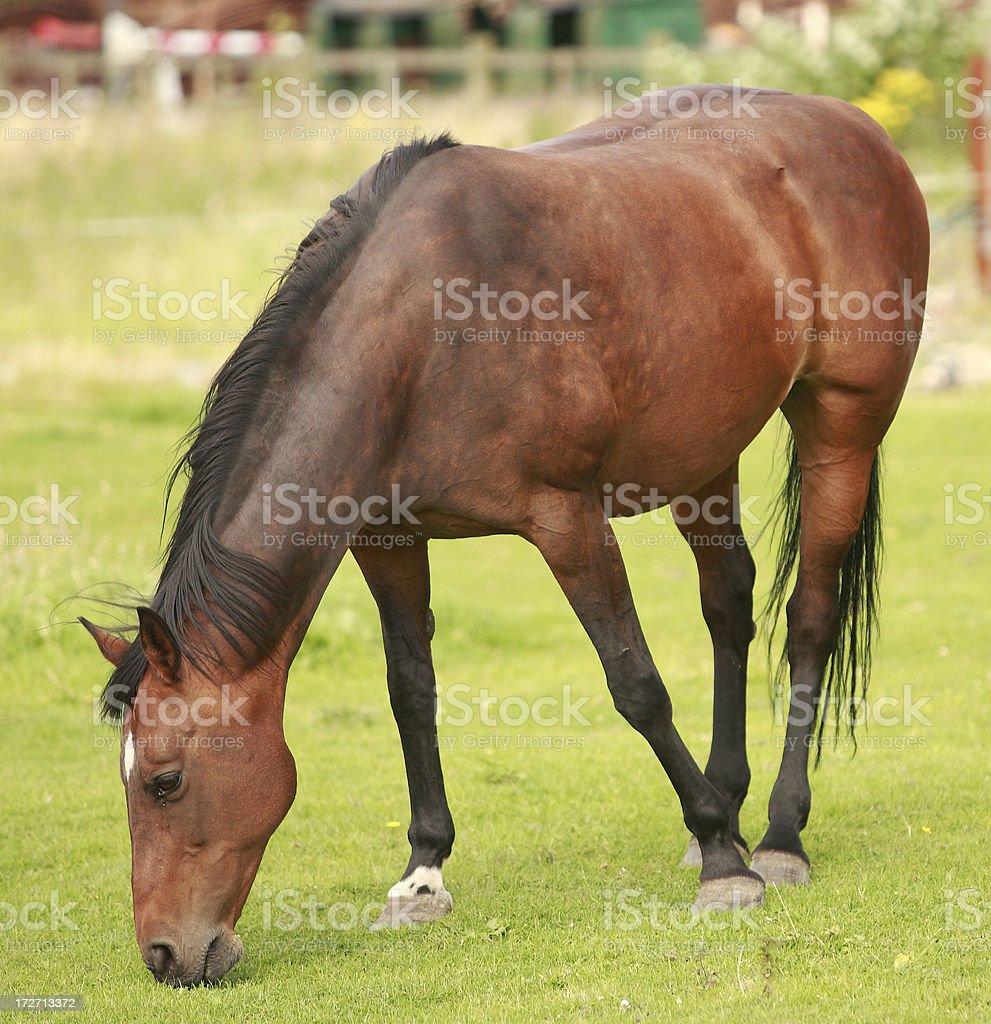 Horse (grazing) royalty-free stock photo