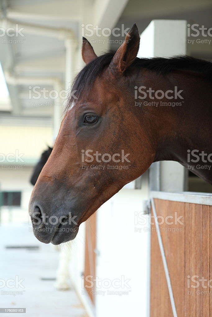 Horse (XXXL) royalty-free stock photo