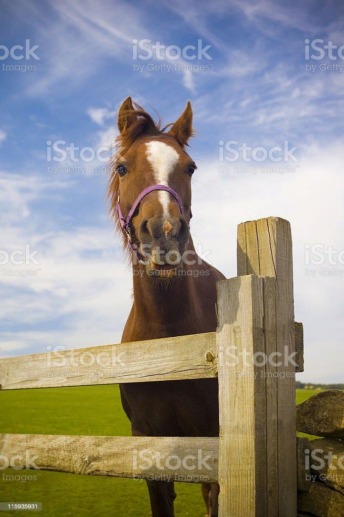Horse play. royalty-free stock photo