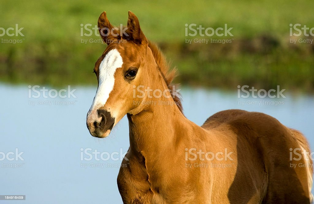 Horse - Pony Foal Portrait royalty-free stock photo