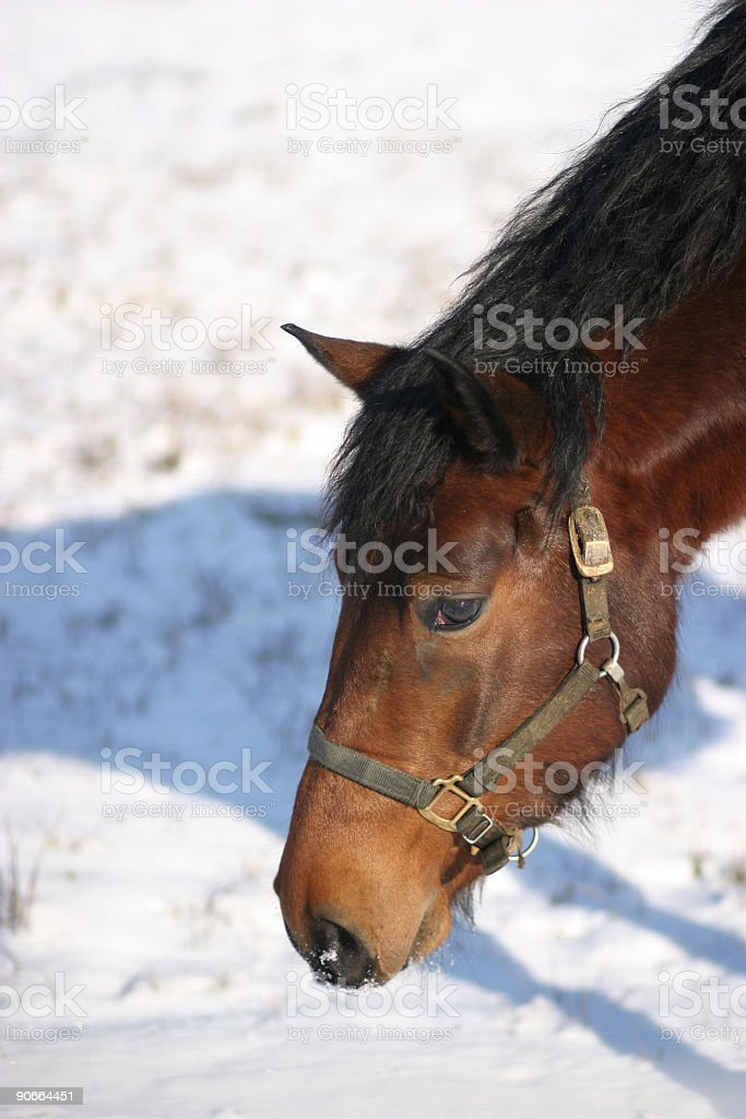 Horse portrait in winter royalty-free stock photo
