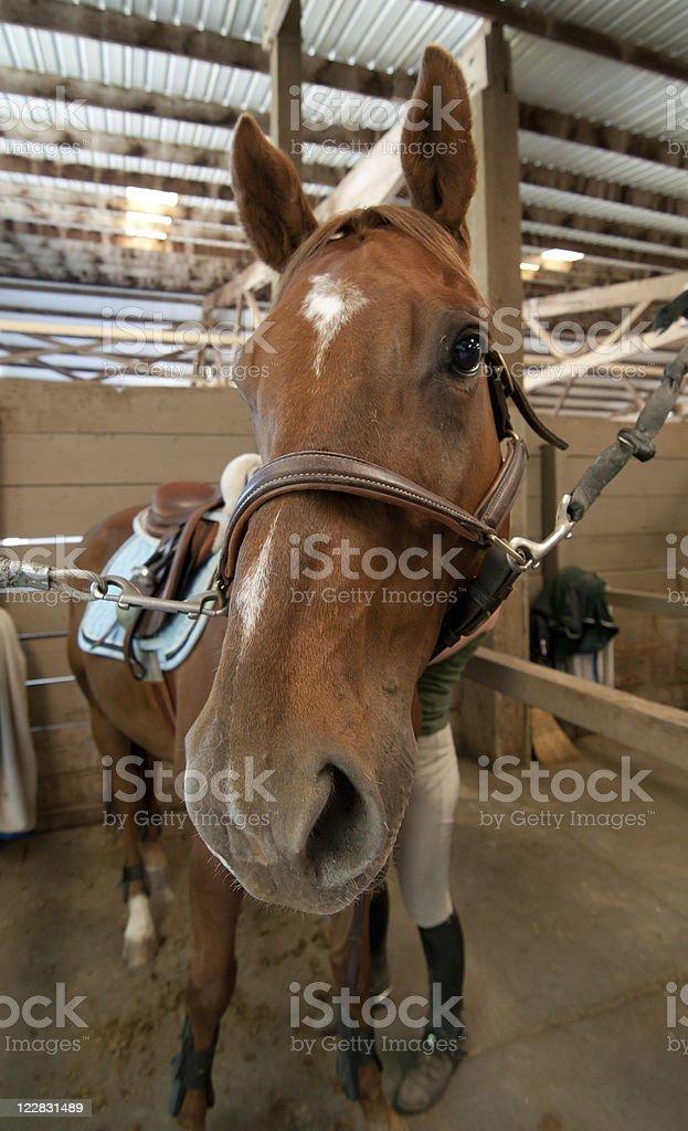 Horse Prep royalty-free stock photo