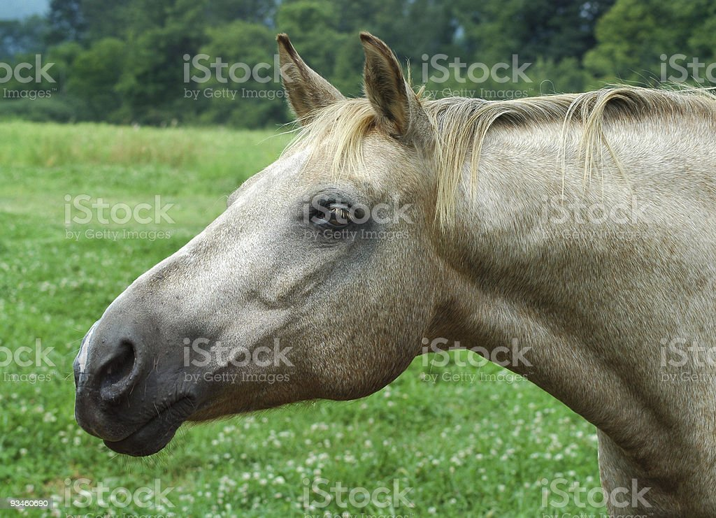 Horse Profile royalty-free stock photo