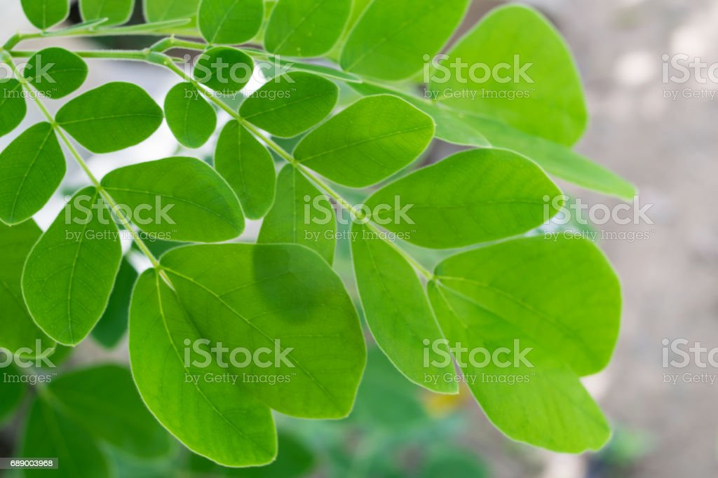 Horse radish tree, Drumstick green leaves background stock photo