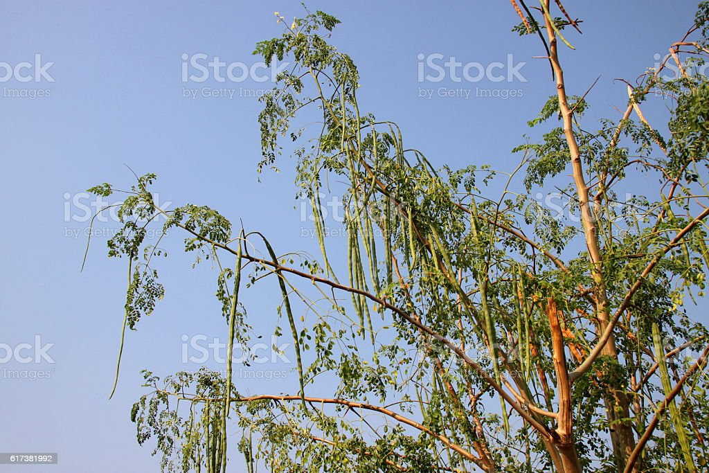 horse radish tree or Moringa oleifera Lam. stock photo