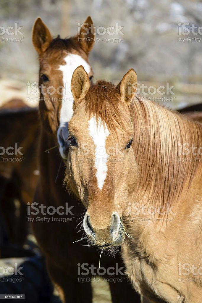 Horse Ranch, Colorado royalty-free stock photo