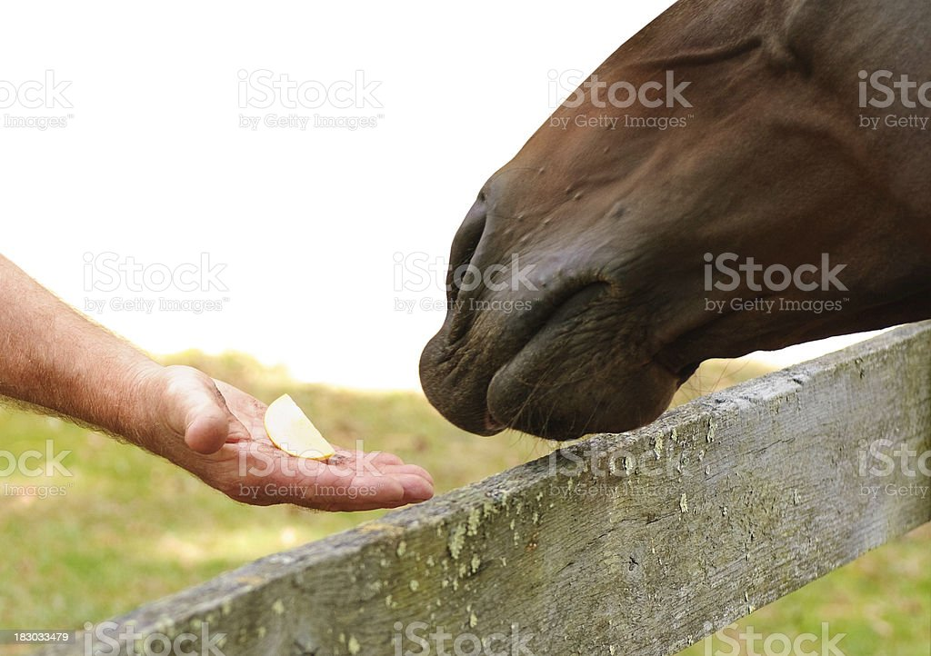 Horse Reaching For A Piece Of Apple stock photo