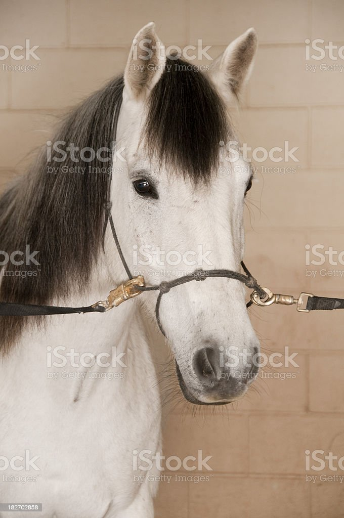 Horse Ready for a Wash close up stock photo