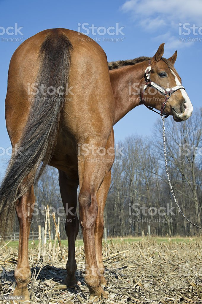 Horse Rear View, Large Butt Back End royalty-free stock photo