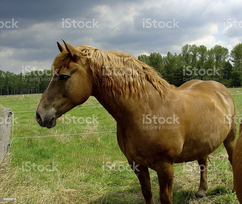 horse - red-brown royalty-free stock photo