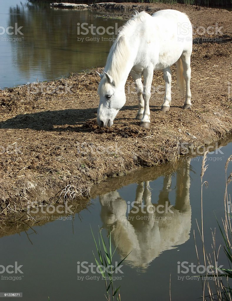 Horse reflection royalty-free stock photo