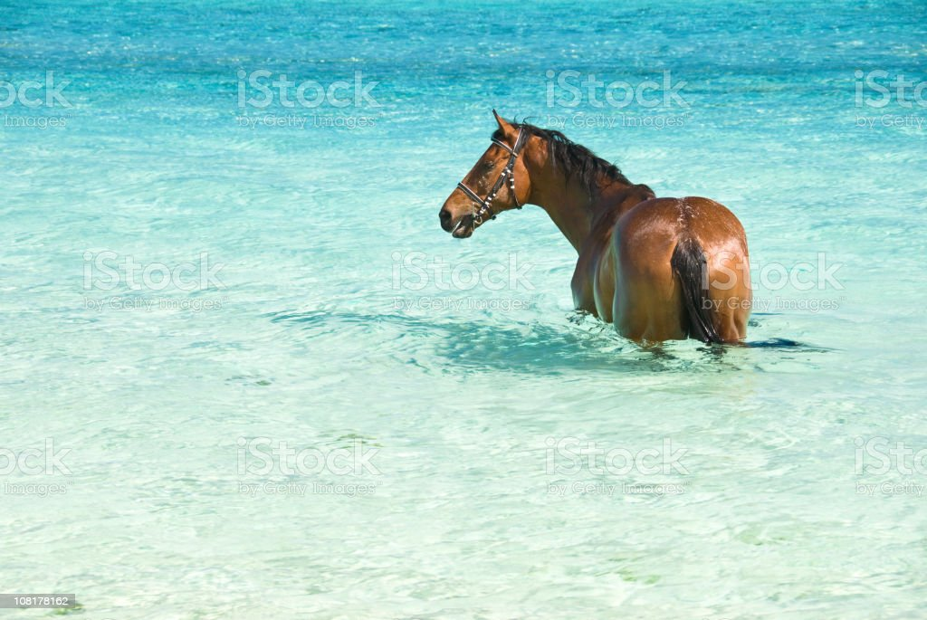 Horse refreshing into crystal clear lagoon royalty-free stock photo