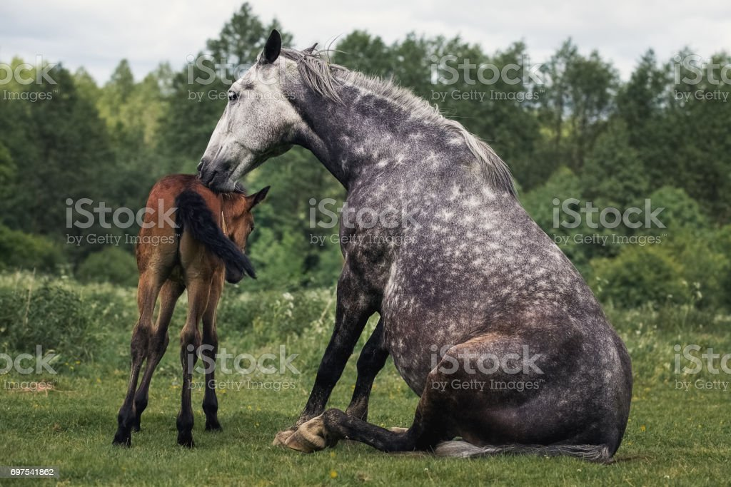 Horse rests with a foal in a meadow stock photo