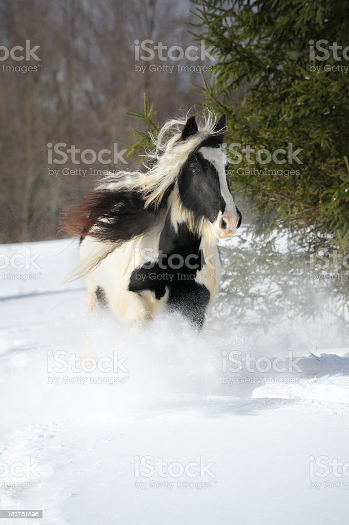 Horse Running in Snow, Gypsy Vanner Mane Hair Flying stock photo
