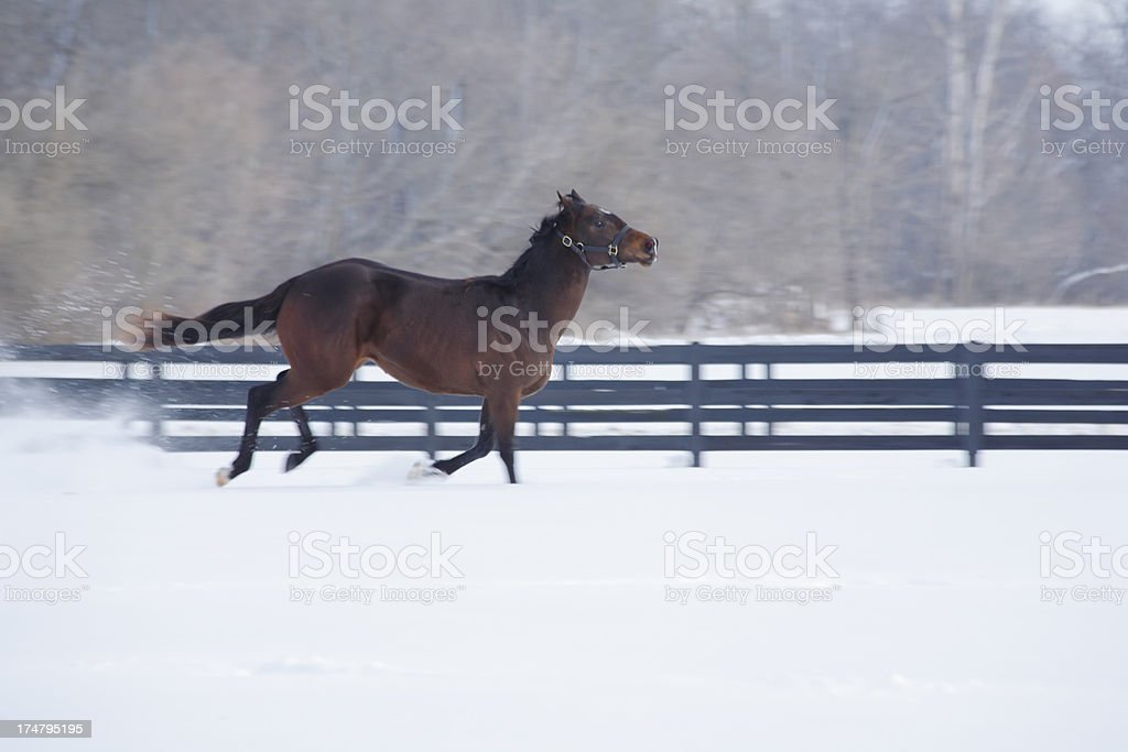 Horse running in snow. royalty-free stock photo