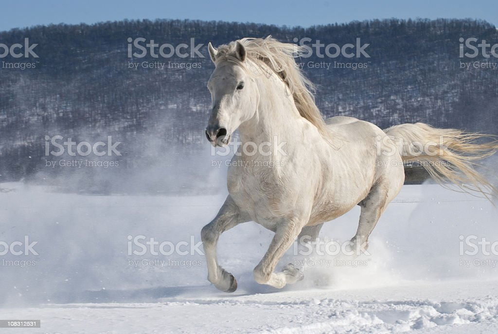 Horse Running in Snow, Power and Motion, White Stallion Freedom stock photo