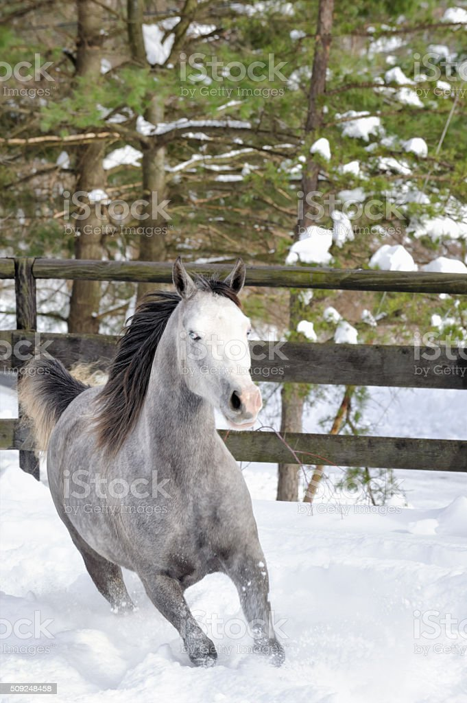 Horse Running in Snow with Forest Background, Blue Eyes stock photo