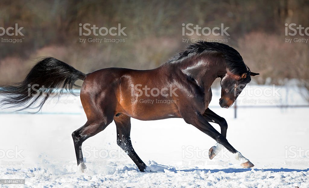 Horse running in the snow stock photo