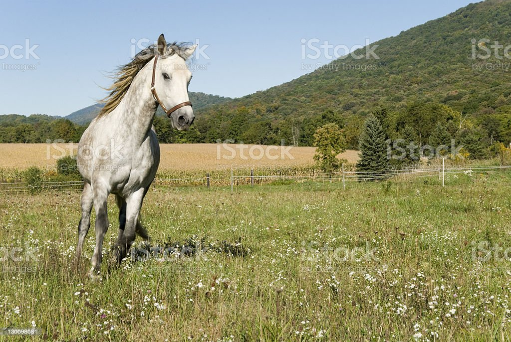 Horse Running In Wildflower Meadow, Summer Fields stock photo