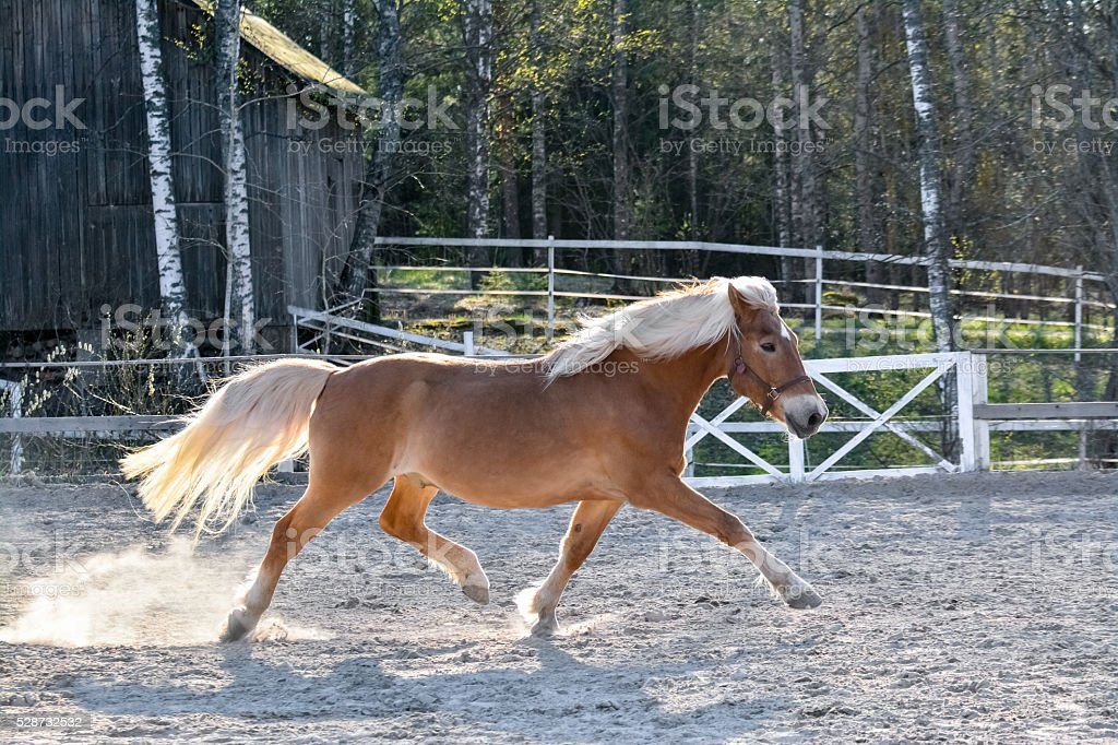 Horse running on riding arena stock photo