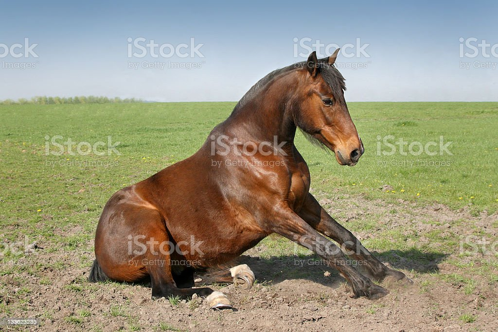 Horse sitting down royalty-free stock photo