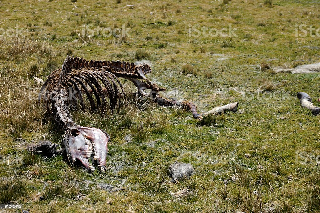 Horse Skeleton On Antisana Paramo stock photo