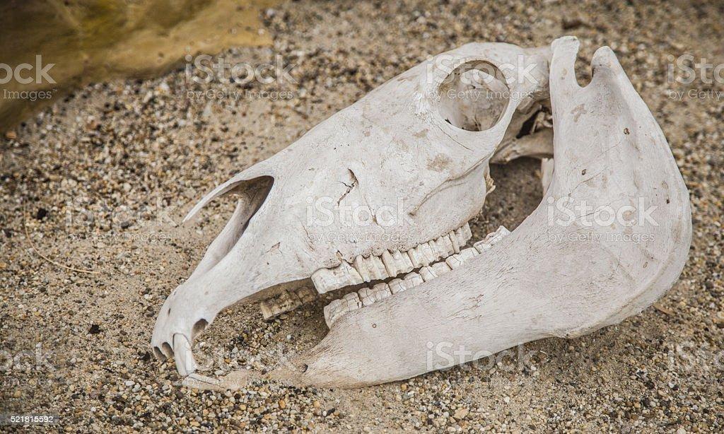 horse skull anatomy head stock photo