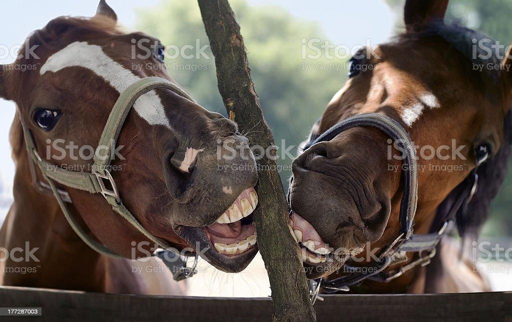 Horse smile stock photo