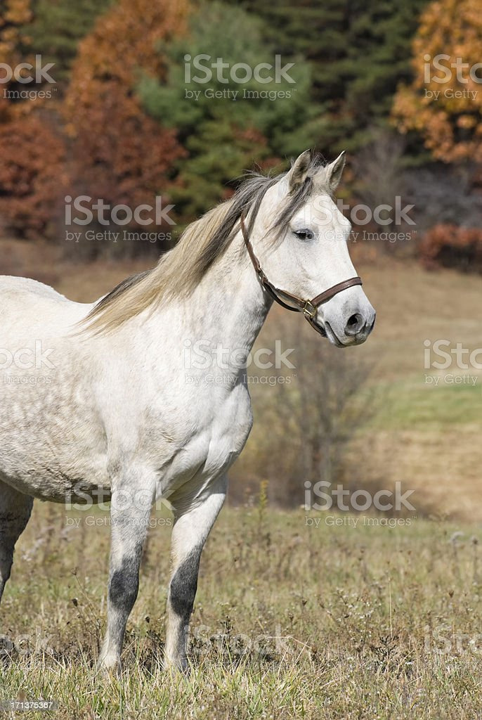 Horse Standing in Fall Landscape, Paso Fino stock photo