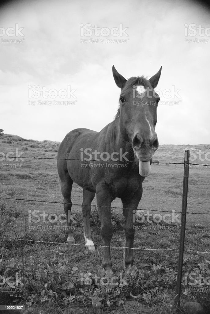 Horse Sticking Out Its Tongue stock photo
