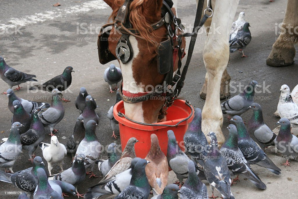 Horse surrounded by pigeons, Central Park, Manhattan, New York City. royalty-free stock photo